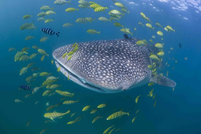 Whale shark with trevallies and pilotfish in Tanzania