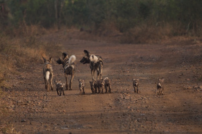 African wild dog family in the wild