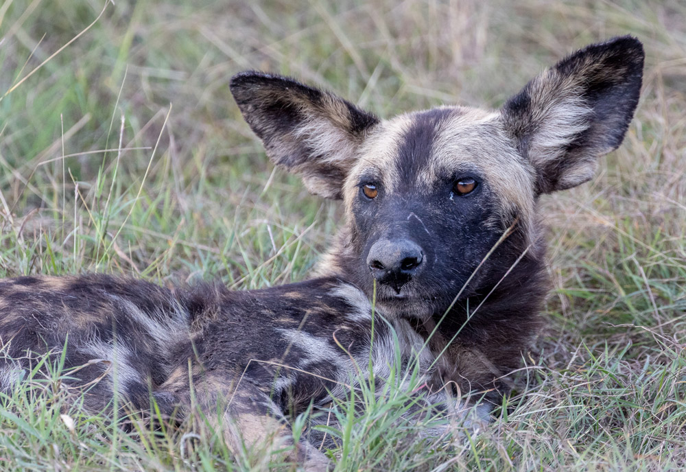 African wild dog in Selous Game Reserve, Tanzania