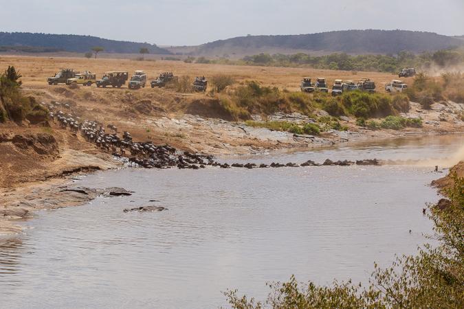 Wildebeest crossing a river in the Maasai Mara, Kenya