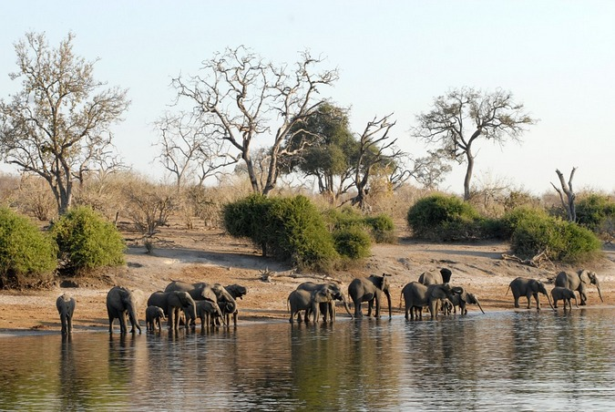 Herd of elephants at a river in Botswana