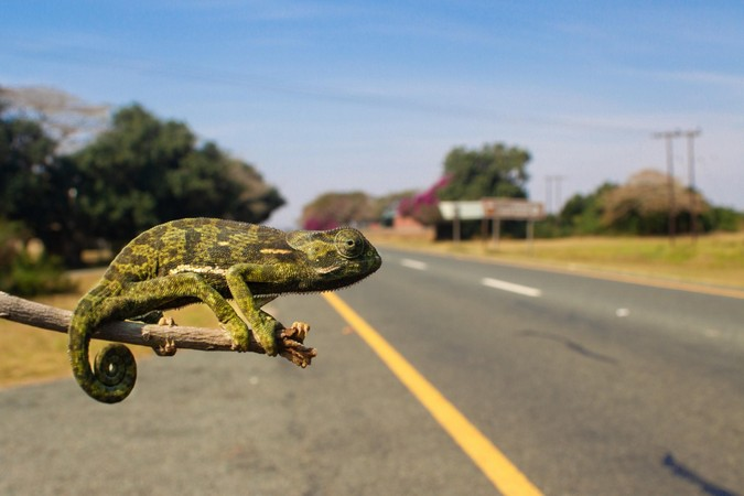 A flap-necked chameleon (Chamaeleo dilepis) by the road