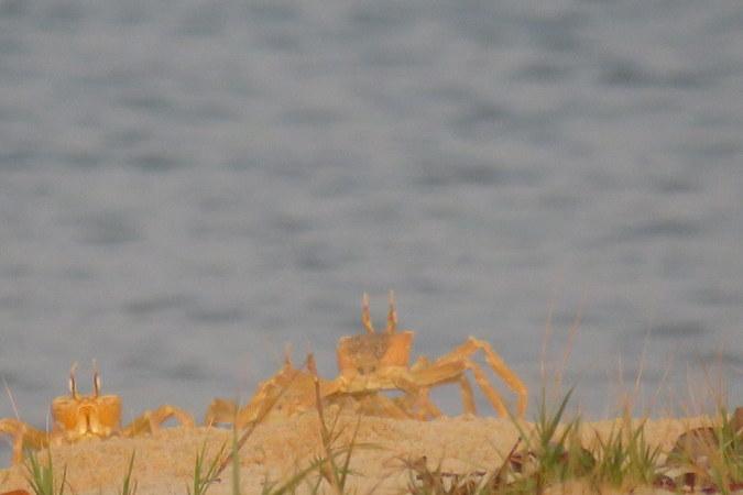 Crabs on Bakei, Turtle Islands, Sierra Leone