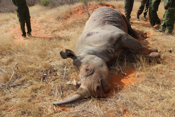 Dead black rhino in Kenya