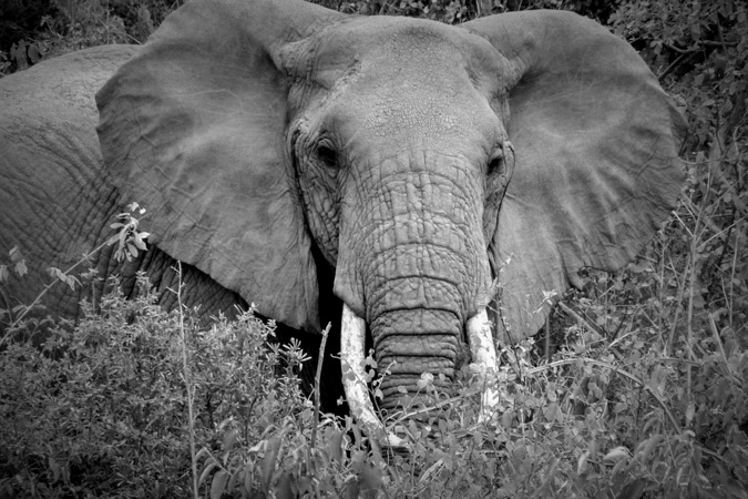 Stock photo of elephant in black and white, elephants, Tanzania