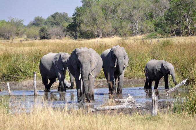 Elephants in the Okavango Delta in Botswana