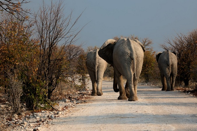 Elephants walking down a road in Botswana park