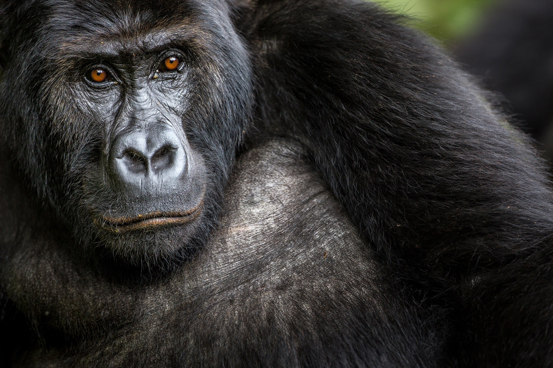 A female Grauer's gorilla calmly observes the team as it approaches