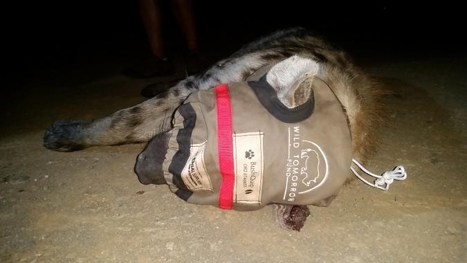 Blindfolded hyena during collaring