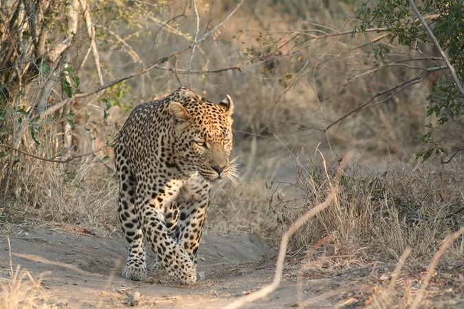 Leopard walking in the wild
