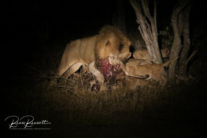 Lion pride with impala kill