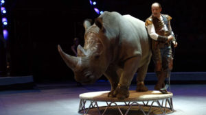 South African rhino doing circus tricks in Russia