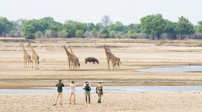 Guests on safari watching giraffe and hippo in Zambia