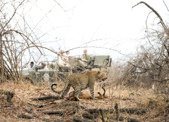 Leopard with kill with guests on vehicle in background
