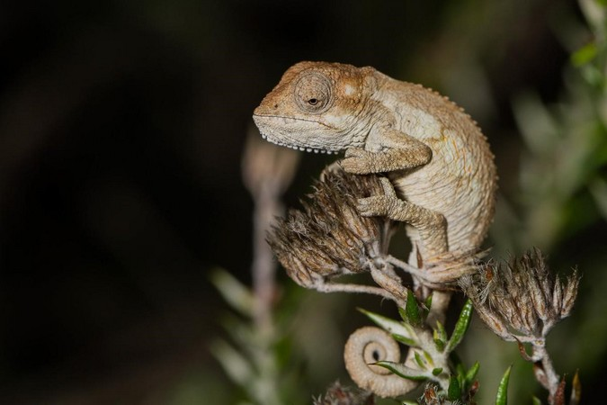 Baby southern dwarf chameleon (Bradypodion ventrale) in the Eastern Cape