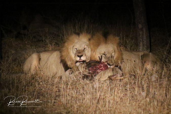The Machaton lions laying claim to their part of the impala