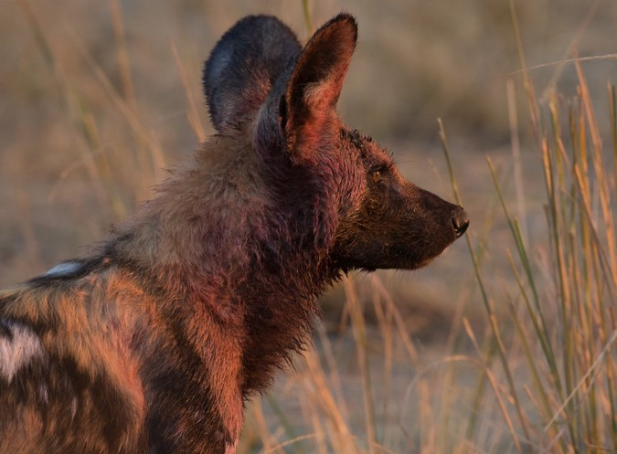 African wild dog at sunset in South Luangwa, Zambia