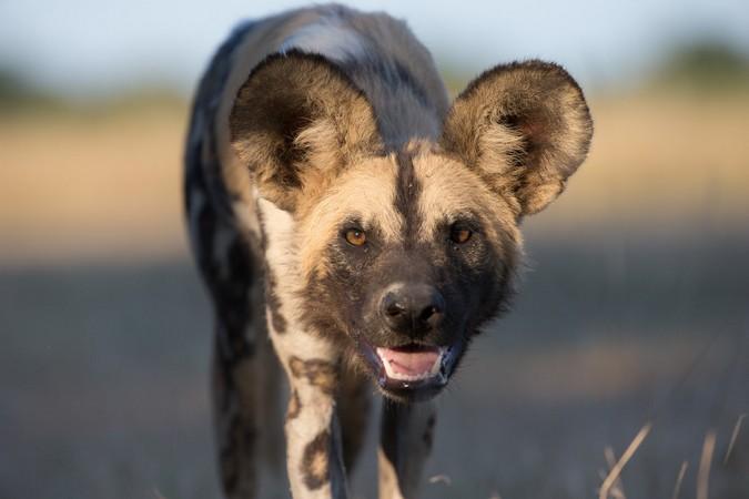 African wild dog in South Luangwa, Zambia
