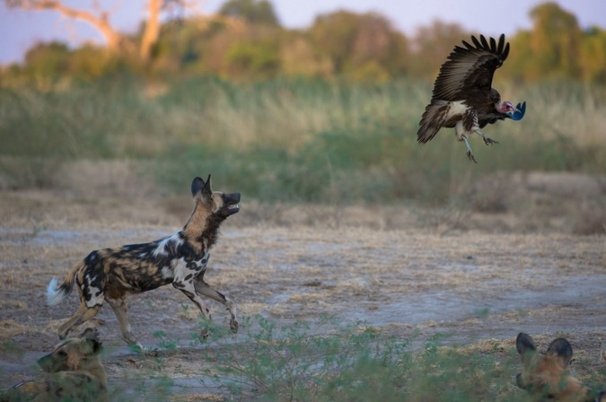 African wild dogs chasing a vulture in South Luangwa, Zambia