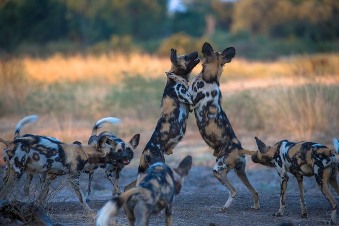 African wild dogs playing in South Luangwa, Zambia