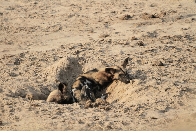 Wild dogs resting in sand hole in Selous Game Reserve in Tanzania