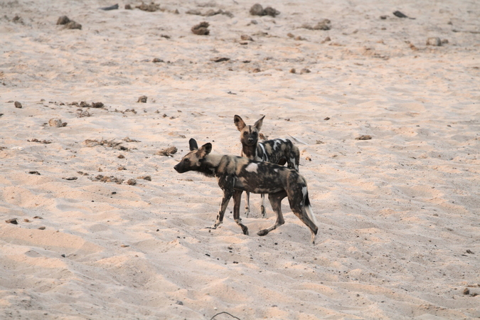Two wild dogs in Selous Game Reserve in Tanzania