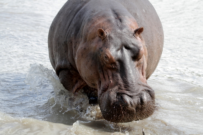 Hippo charging in Selous Game Reserve in Tanzania
