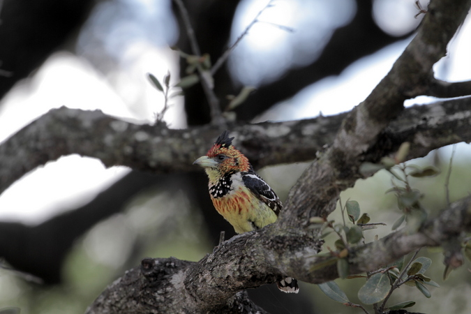 Crested barbet in Selous Game Reserve in Tanzania