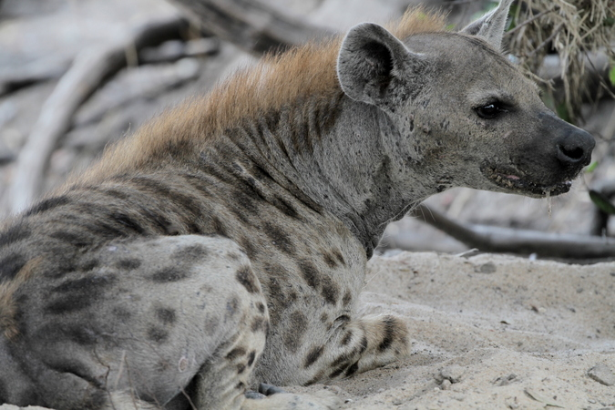 Spotted hyena in Selous Game Reserve in Tanzania