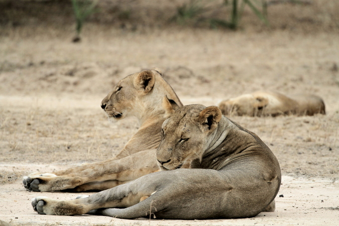 Lions sleeping in Selous Game Reserve in Tanzania
