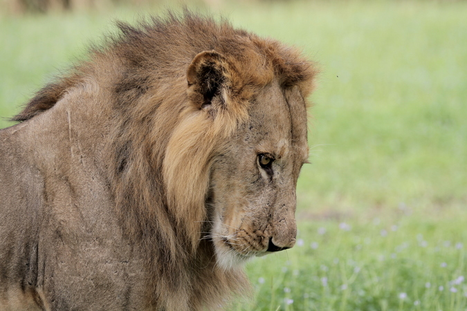 Male lion in Selous Game Reserve in Tanzania