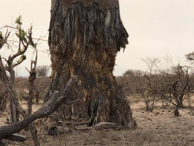 Elephant damage to a tree in Botswana