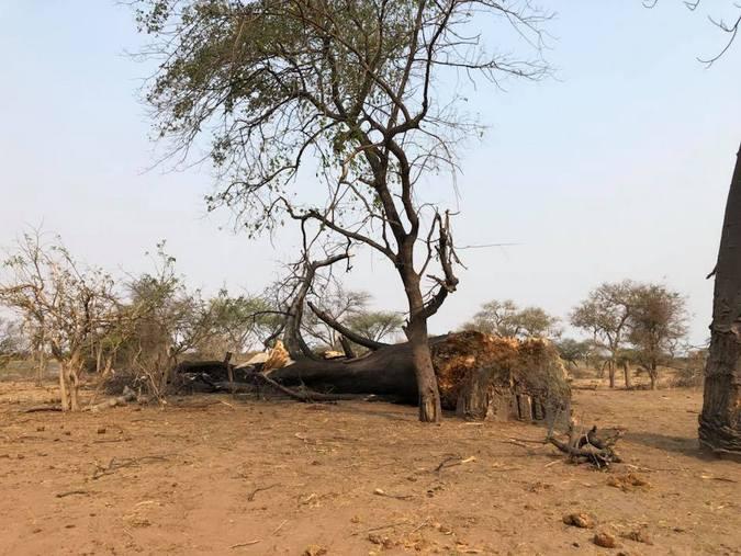 Tree damage due to elephants in Botswana