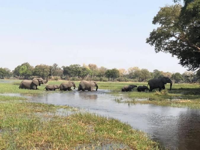 Elephant herd crossing delta in Botswana