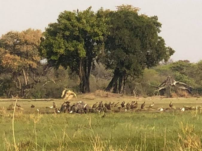Vultures eating elephant carcass in Botswana