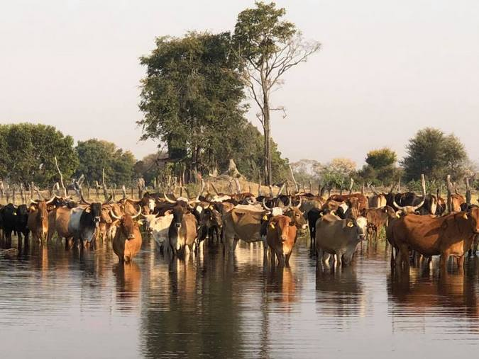 Cattle herd in Botswana