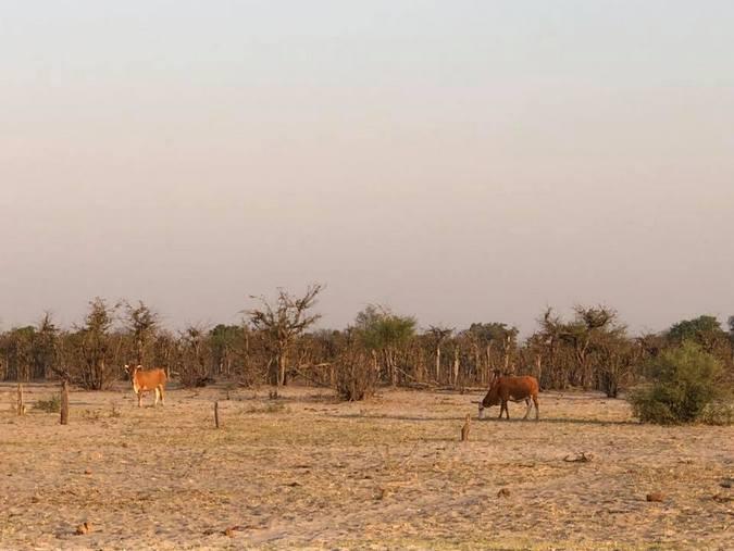 Cattle in Botswana