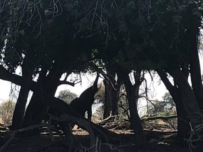 Elephant feeding in Botswana