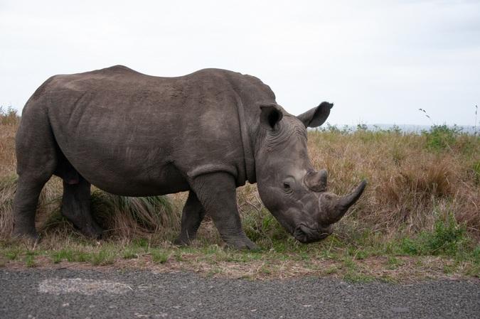 White rhino in Hluhluwe-iMfolozi Park