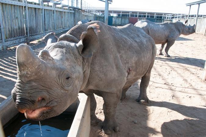 Rhino orphan drinking water