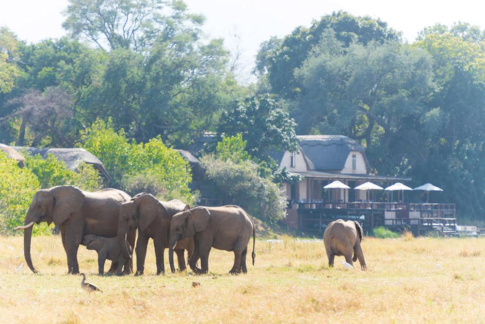Elephant herd browsing by Royal Zambezi Lodge