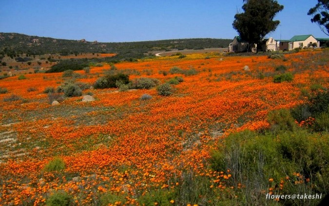 Namaqualand Wild Flowers in Northern Cape, South Africa