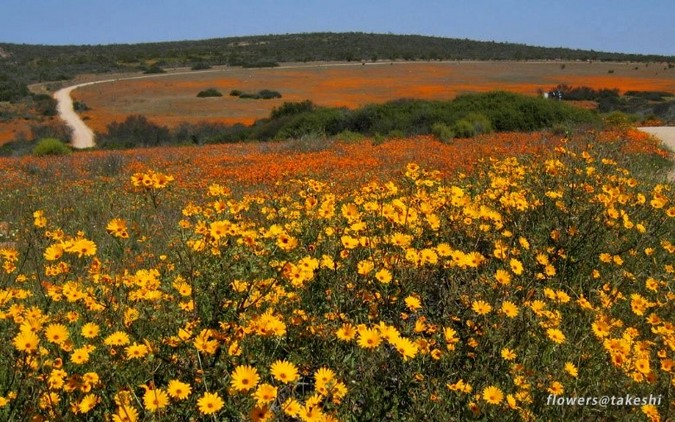 Namaqualand wild flowers in South Africa