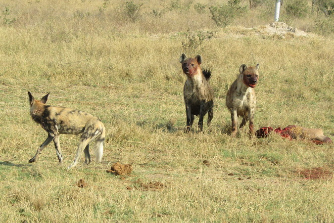 Two spotted hyenas and wild dog in Hwange