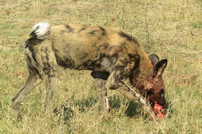 African wild dog eating carcass