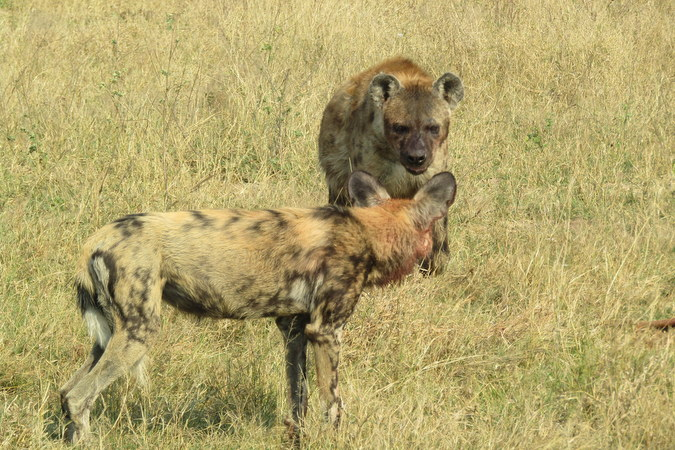 Spotted hyena and wild dog in Hwange