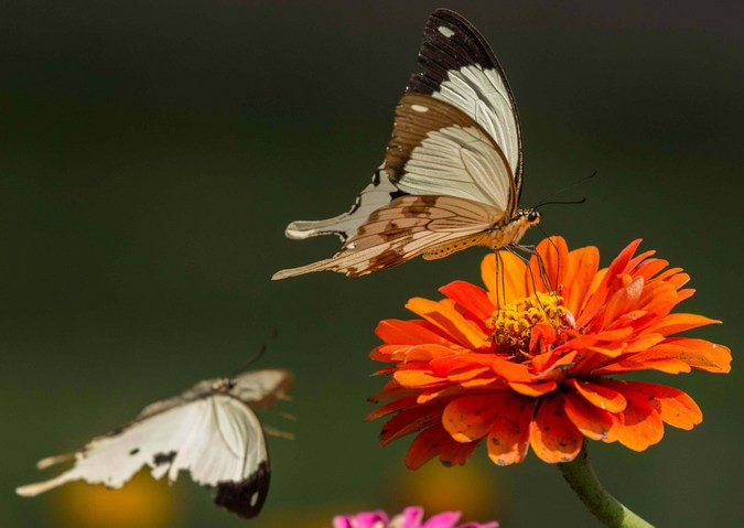 African swallowtail, butterfly