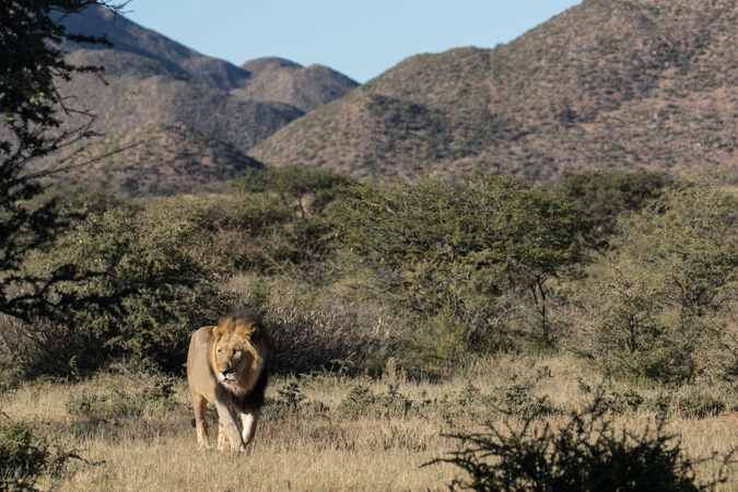 Black-maned lion in Tswalu Kalahari Private Game Reserve