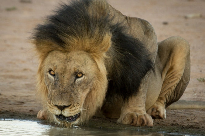 Black-maned lion drinking water in Tswalu Kalahari Private Game Reserve