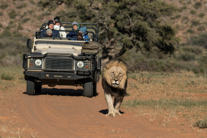 Black-maned lion in Tswalu Kalahari Private Game Reserve with game drive vehicle in background